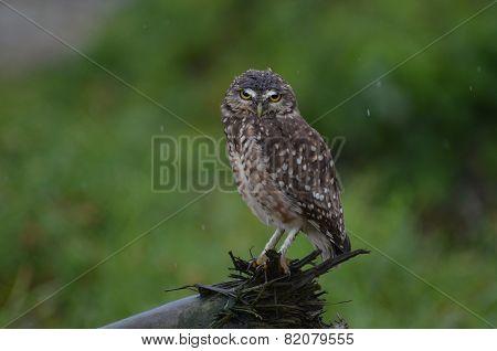 Exasperated Owl