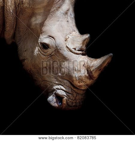 Black Rhinoceros Young Calf