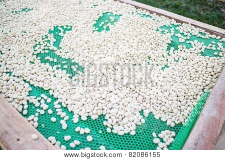 Green Coffee Beans Dried In The Sun
