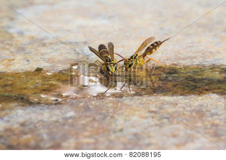 Insect Drink Water