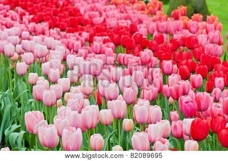 Pink and red tulips on the flowerbed