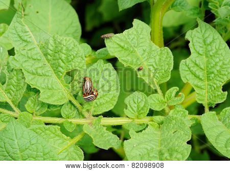 Two Mature And One Young Colorado Bug On The Potato