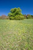 pic of cowslip  - Conker also Horse Chestnut Tree surrounded by wild flowers - JPG