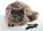 stock photo of clippers  - Grey Persian cat scissors and nail clipper for animal - JPG