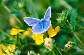 stock photo of adonis  - A chalkhill blue butterfly resting in the rural countryside - JPG