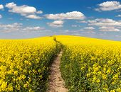 picture of turnip greens  - Field of rapeseed with rural road and beautiful cloud  - JPG