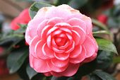picture of raindrops  - Camellia flower and raindrop,closeup of pink camellia flower in full bloom with raindrop in the garden