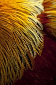 pic of fowl  - Close up of feather of a fowl - JPG