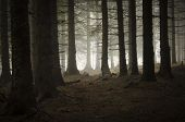 stock photo of mystery  - Pine tree forest with dark mysterious fog - JPG