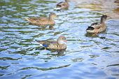 stock photo of ducks  - Young duck swims in the lake with ducks - JPG