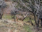 pic of mule  - Mule deer rests in a wood lot early in the spring - JPG