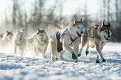 foto of sled  - A sled dog team in the 2015 Yukon Quest from Whitehorse - JPG