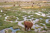 stock photo of pampas grass  - Llamas and alpacas graze in the mountains near Paso de Jama Argentina - JPG