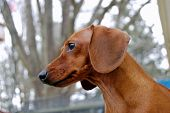 stock photo of dachshund  - A curious dachshund watches something of interest - JPG