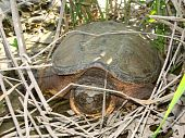 picture of winnebago  - A Snapping Turtle  - JPG