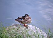 stock photo of duck pond  - Sitting duck resting on a rock in a pond  - JPG