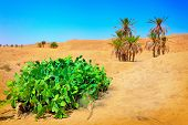 stock photo of peyote  - Palm trees in the Sahara Desert - JPG