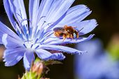 picture of chicory  - Bee is working on the flower chicory - JPG