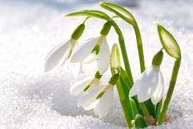 picture of snow forest  - Spring snowdrop flowers with snow in the forest - JPG