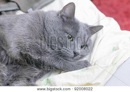 Brooding Grey Cat Lies In Thoughts