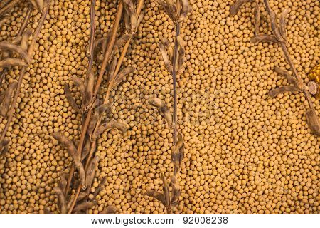 Ripe Soy Bean Plants And Beans