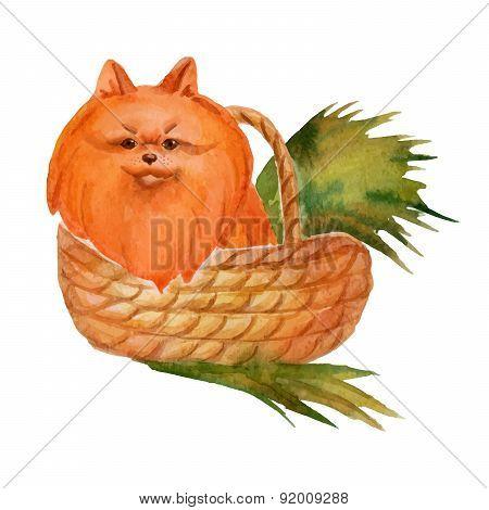 Watercolor Pomeranian Spitz In Wicker Basket. Hand Drawn Vector Illustration Eps 10.