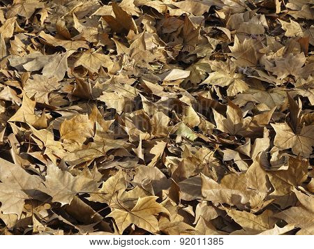Dry Leafs Background