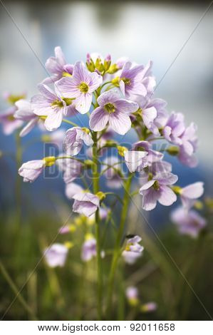Cuckoo Flower By River Mcu