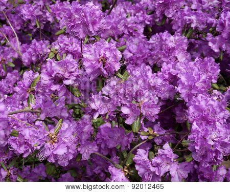 Rhododendron  sichotense Pojark