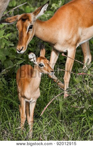 Baby Impala And Mother