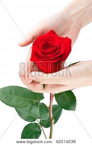 Red Rose In Women's Hands
