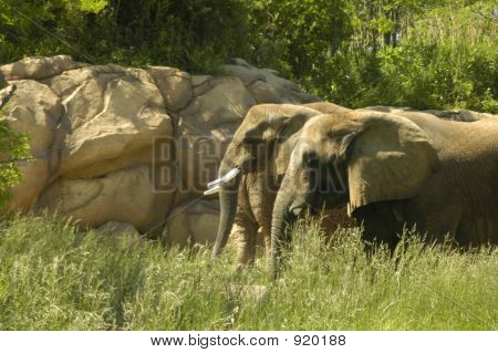 Grazing Elephants