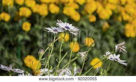 Grassland Daisy