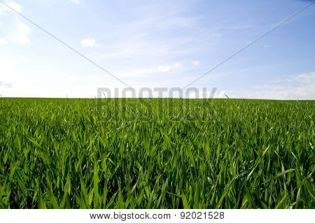 The sea of green grass on a background of blue sky