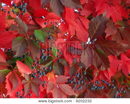 Red leaves of wild grape vines in autumn