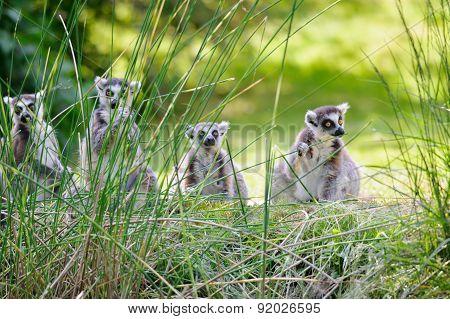Lemurs Eating Straws