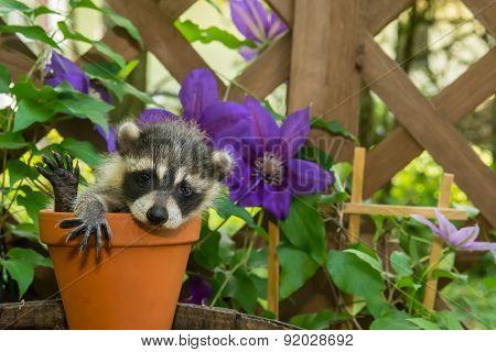 Baby Raccoon hiding in a flower pot