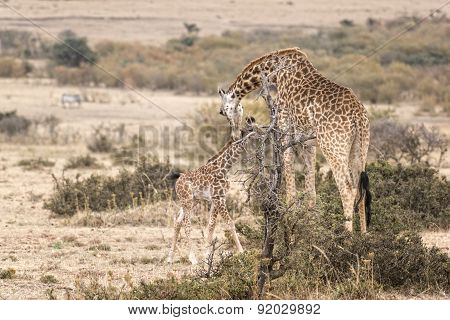 Masai Giraffe With Calf