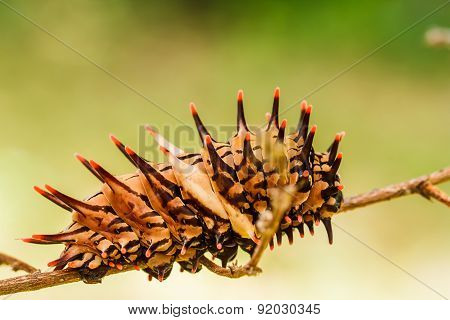Caterpillar  Golden Birdwing