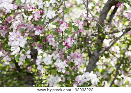 Flowering Siberian Apple-tree