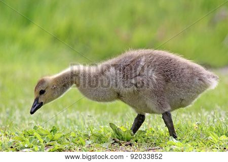Little Gosling