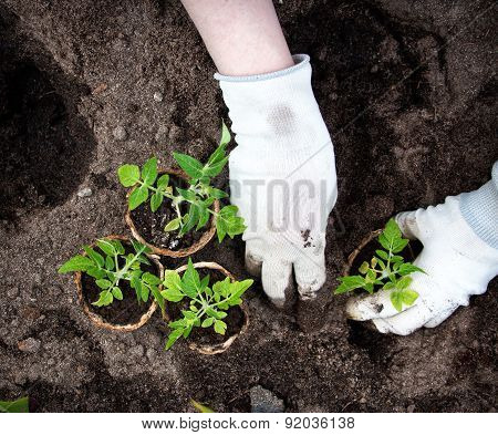 Hands putting tomato seedling