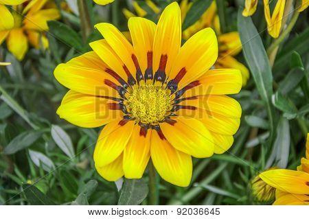 Gazania Splendens Flower