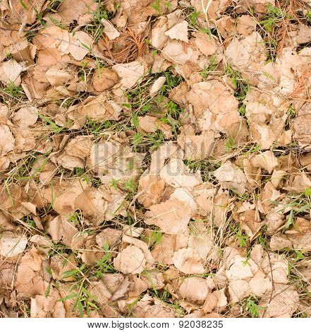 Young Green Grass Growing Through Dry Birch Leaves