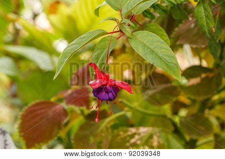 Red fuchsia flower.