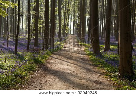 Path In Sunny Forest With Bluebells