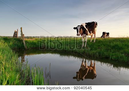 Cow By River At Sunset