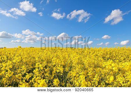 Yellow Rape Flower Field And Blue Sky