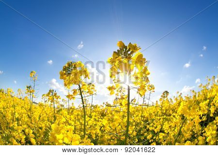 Sunshine On Yellow Rapeseed Oil Flower Field