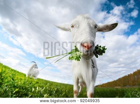 Close up shot of the goat with bunch of green lush grass on the summer meadow